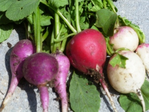 First radishes of the season