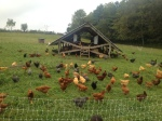 Polyface Chickens (courtesy John Runyan)
